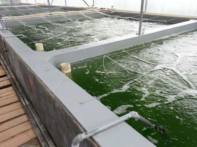工厂化水泥池和如东小棚养虾模式中用强微产品的方案